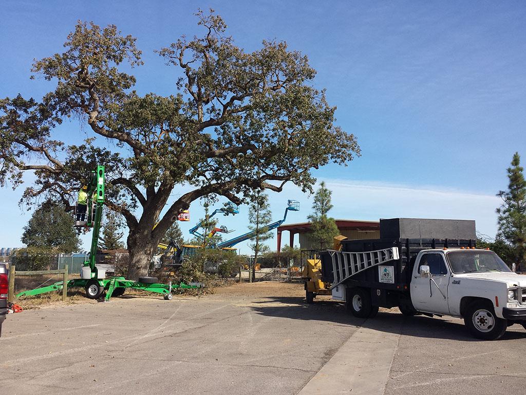 Oak Pruning 1/3