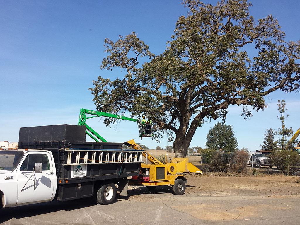 Oak Pruning 2/3