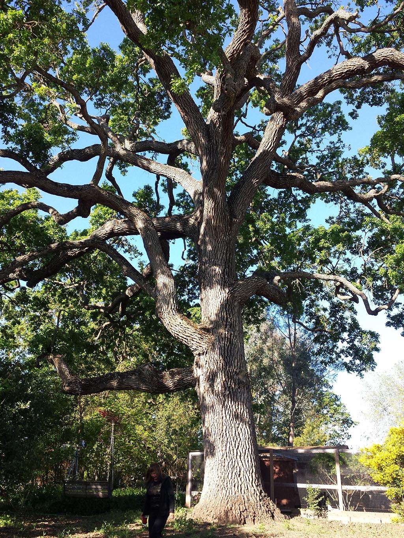 Oak Pruning 3/3