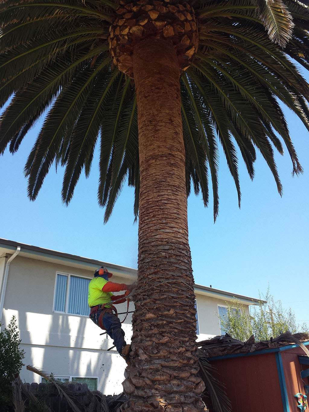 Palm Tree Maintenance 2/2