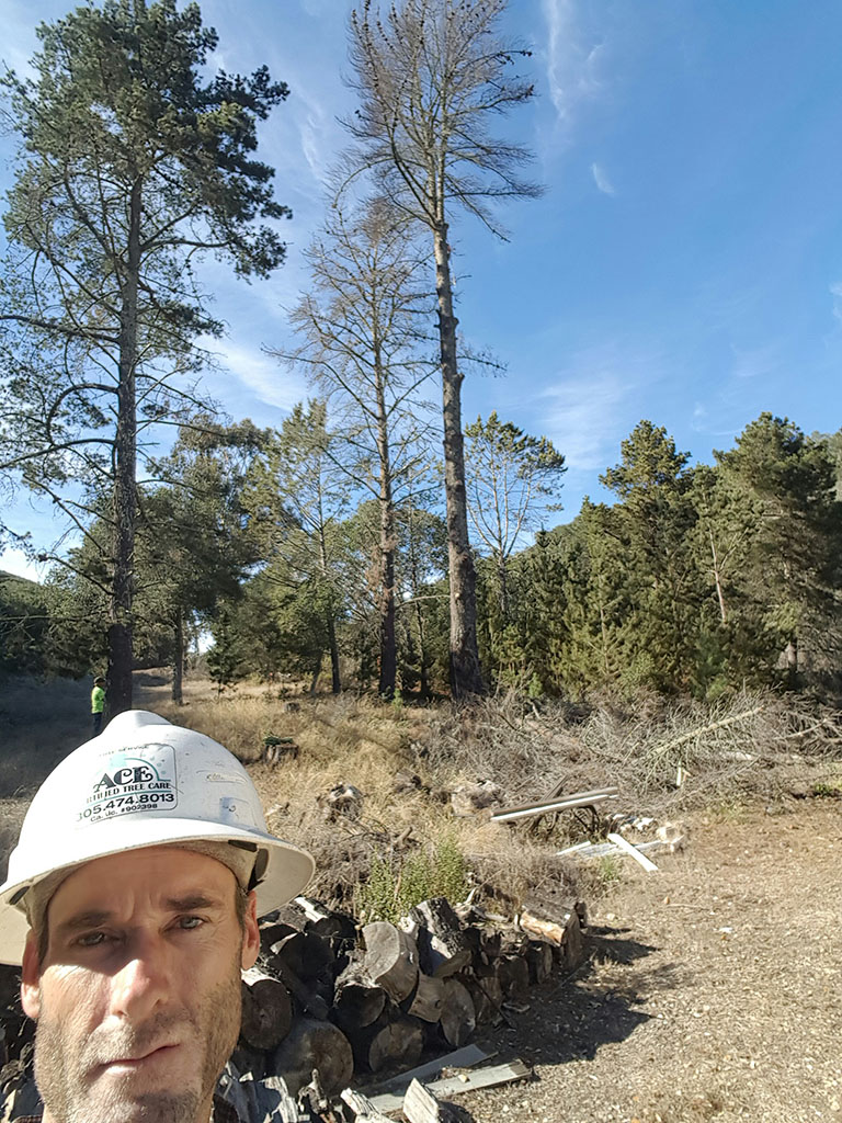 Dead Pine Removal 3/3