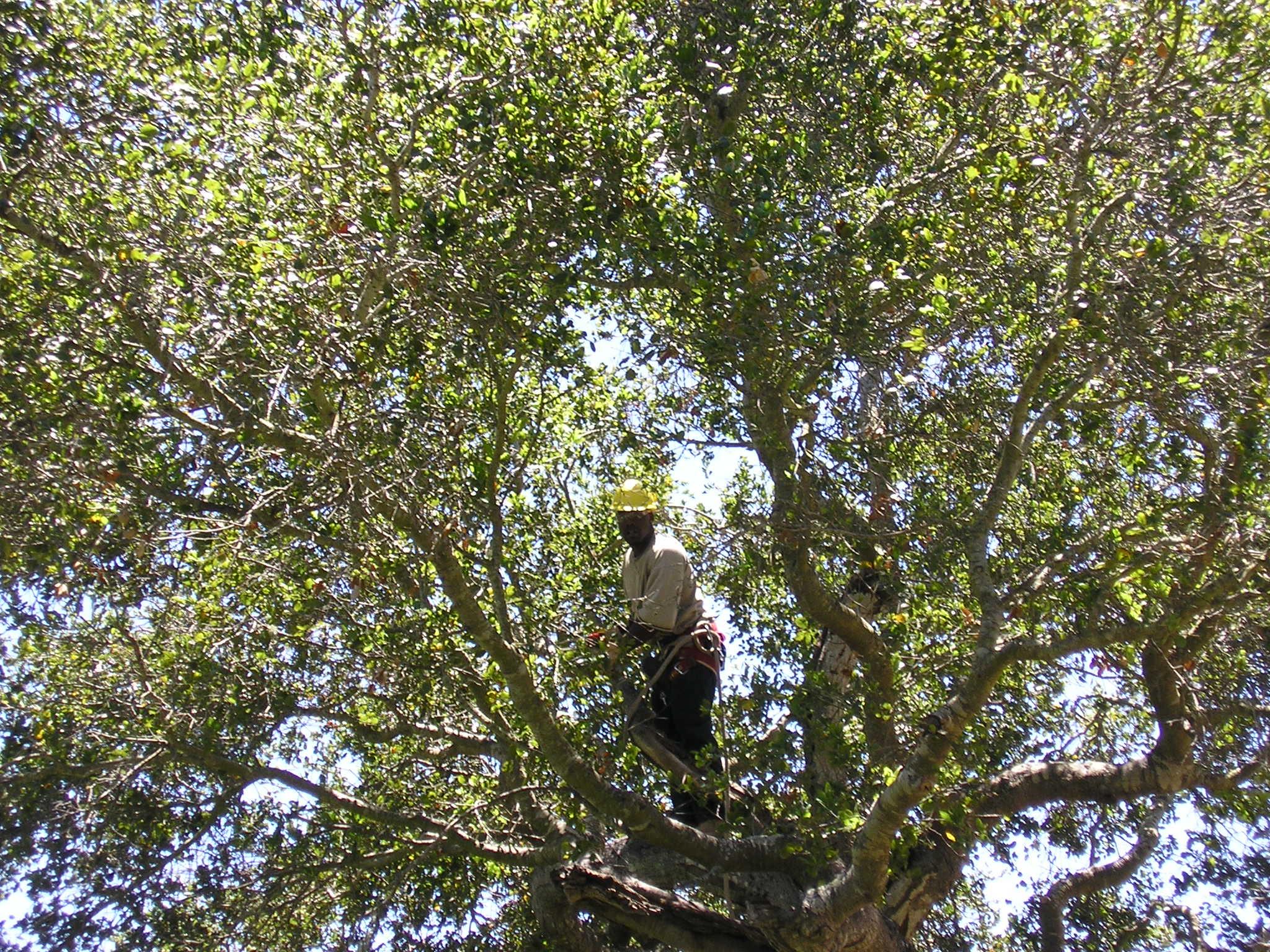 Oak Pruning Series