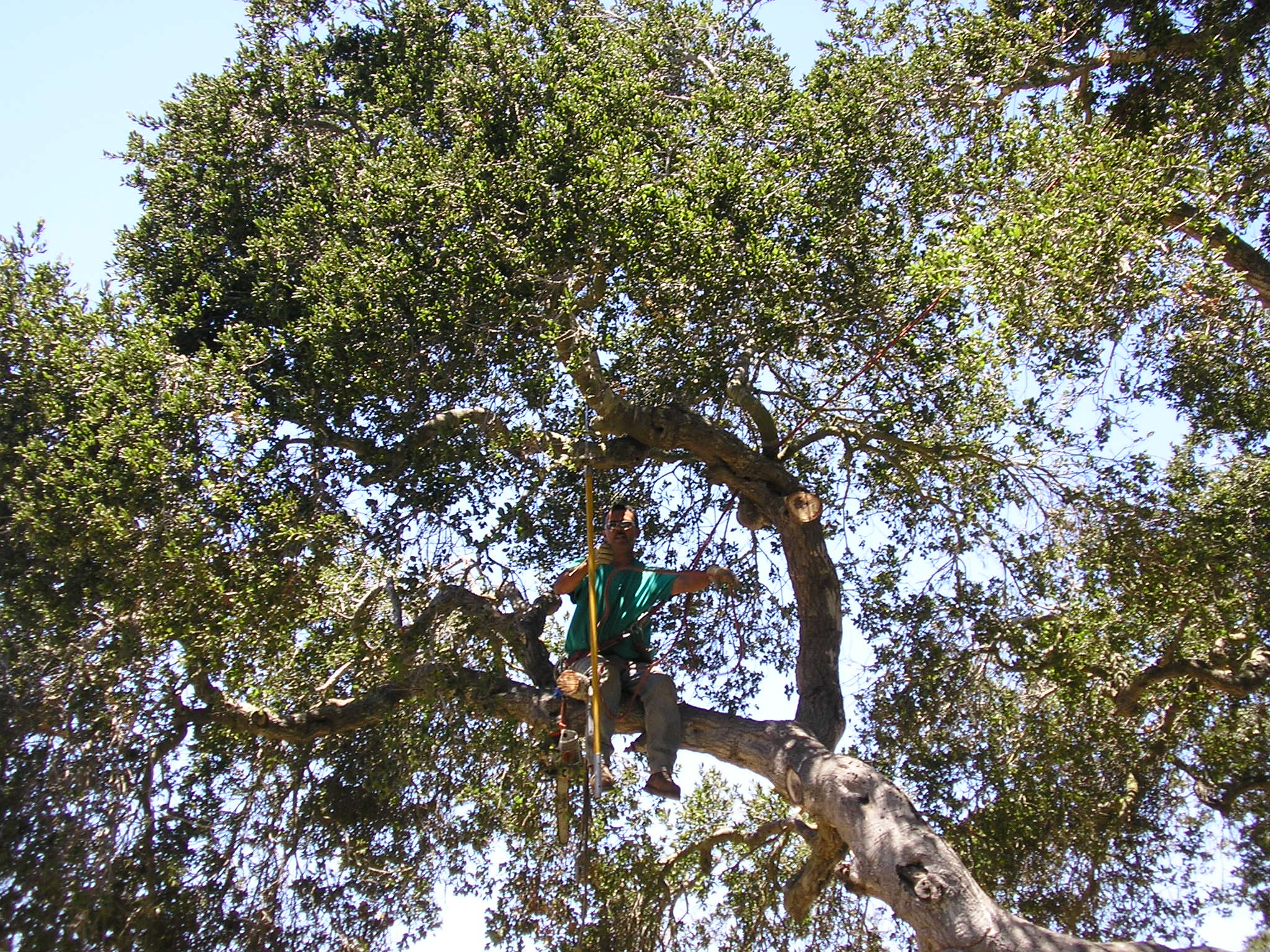 Oak Pruning Series