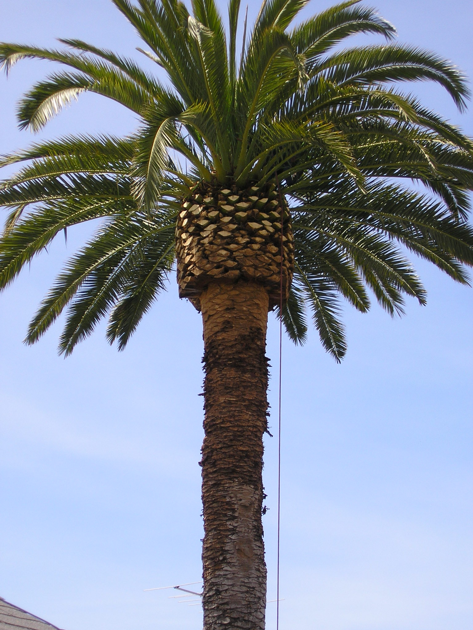 Date Palm on San Luis Street, Pismo Beach