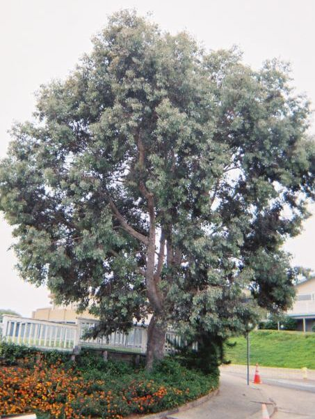 Before:  Eucalyptus Trees need regular care by an arborist. This specimen is too heavy and low; needs an arborist's care for human safety and to prevent failure.